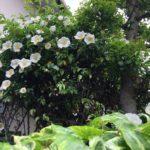 今年もMhouse鷺宮のつるバラがきれいに咲きました。