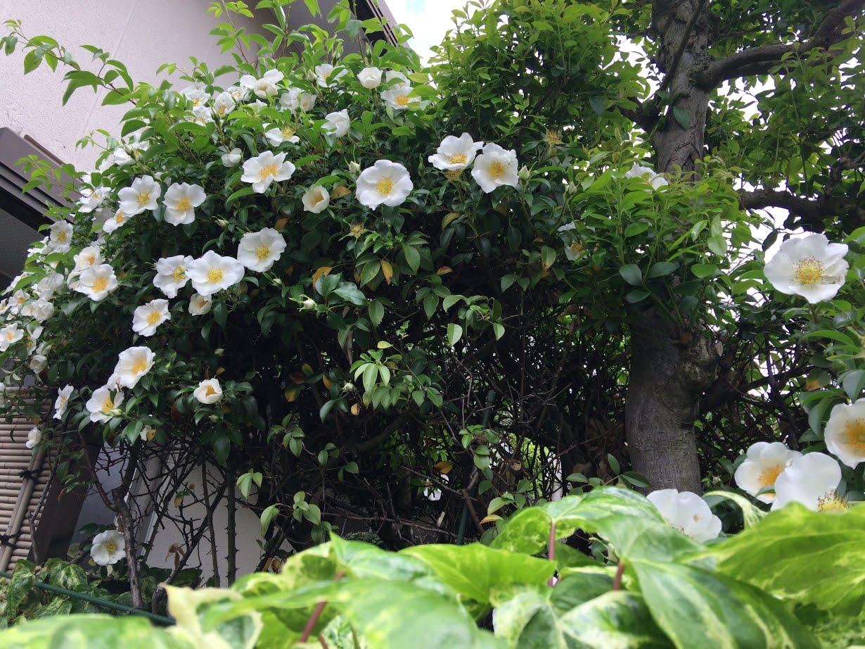 つるバラ「Mhouse鷺宮」